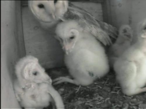 owl_family1
