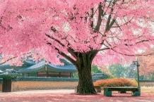 Cherries in Korea